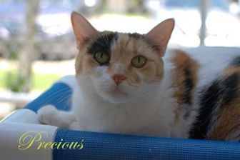 Domestic Mediumhair/Domestic Shorthair Mix Cat for adoption in Middleburg, Florida - Precious