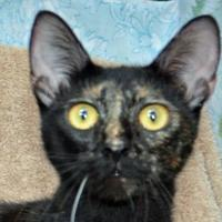 Domestic Shorthair/Domestic Shorthair Mix Cat for adoption in Englewood, Florida - Mona