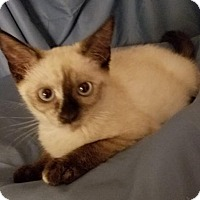 Adopt A Pet :: Sasha - Fullerton, CA
