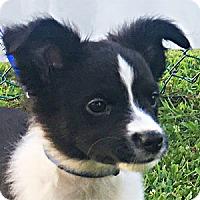 Adopt A Pet :: Eddie - Warren, PA