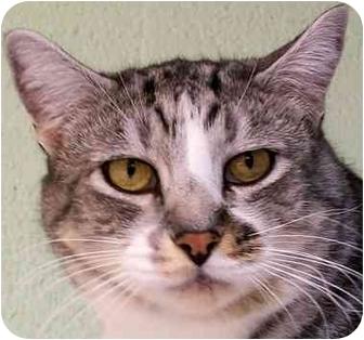 Domestic Shorthair Cat for adoption in Salt Lake City, Utah - Chester
