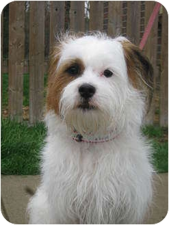 Jack Russell Terrier Mix Dog for adoption in Troy, Ohio - Kirby
