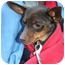 Photo 1 - Miniature Pinscher Dog for adoption in Palatine, Illinois - Andy