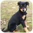 Photo 2 - Doberman Pinscher/Labrador Retriever Mix Puppy for adoption in Westport, Connecticut - *Eloise - PENDING