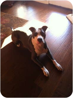American Pit Bull Terrier Mix Dog for adoption in McKinney, Texas - Blue