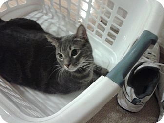 Domestic Shorthair Cat for adoption in Simi Valley, California - Soft tail