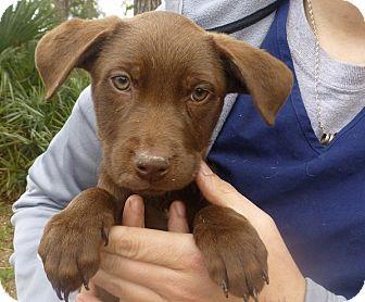 Labrador Retriever Mix Puppy for adoption in Oviedo, Florida - Janna