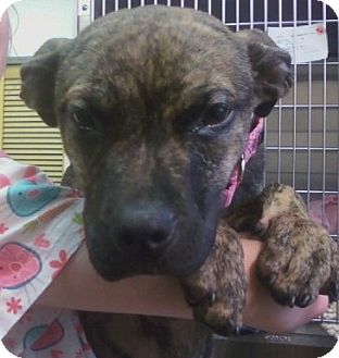 Pit Bull Terrier/Boxer Mix Puppy for adoption in Oak Ridge, New Jersey - Isabelle-TV STAR!