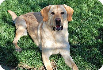 Labrador Retriever Dog for adoption in Meridian, Idaho - Tanner