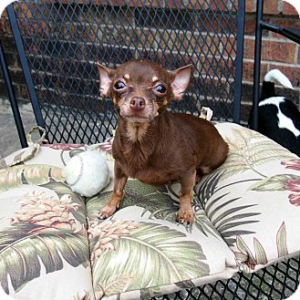 Chihuahua Mix Dog for adoption in Plano, Texas - Maxine