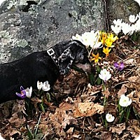 Adopt A Pet :: Holly - Killingworth, CT