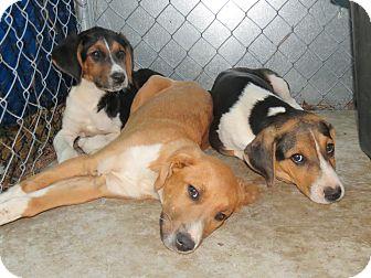 Hound (Unknown Type) Mix Puppy for adoption in Henderson, North Carolina - Huckleberry Hounds, 3M,3F