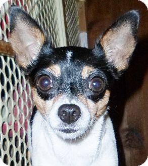 Toy Fox Terrier Dog for adoption in Umatilla, Florida - Karina