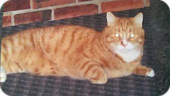 Domestic Shorthair Cat for adoption in E. Claridon, Ohio - ELFIE