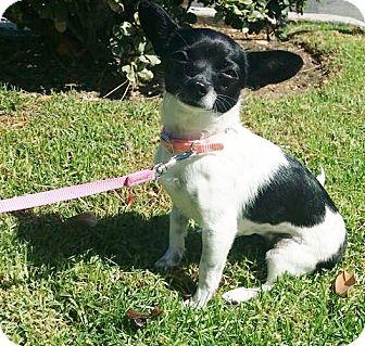 Chihuahua Mix Dog for adoption in Inland Empire, California - KIKI