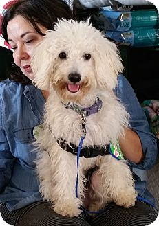 Maltese/Poodle (Miniature) Mix Puppy for adoption in Los Angeles, California - Snoop