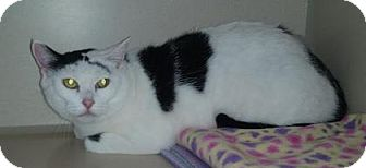 Domestic Shorthair Cat for adoption in Divide, Colorado - Keyta