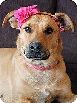 Shepherd (Unknown Type)/Labrador Retriever Mix Dog for adoption in FOSTER, Rhode Island - Chloe
