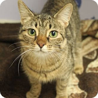 Domestic Shorthair Cat for adoption in Naperville, Illinois - Ginger