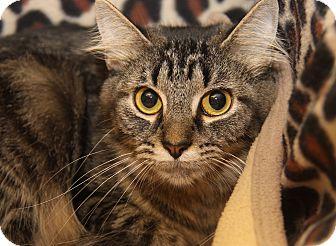 Domestic Shorthair Cat for adoption in Marietta, Ohio - Pollyanna (Spayed)