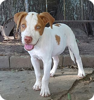 English Setter Mix Puppy for adoption in Buffalo, New York - Jasper