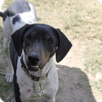 Adopt A Pet :: Sookie - Fountain, CO