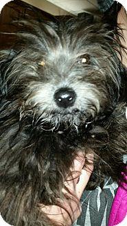 Yorkie, Yorkshire Terrier Mix Puppy for adoption in Jewell, Iowa - Tutu