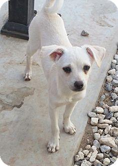 Shiba Inu/Chihuahua Mix Puppy for adoption in temecula, California - Olaf