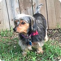 Adopt A Pet :: Harley - Pearland, TX