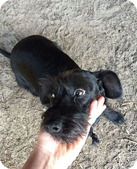 Schnauzer (Miniature)/Dachshund Mix Dog for adoption in Mary Esther, Florida - Bella
