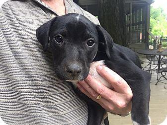 Labrador Retriever/Terrier (Unknown Type, Medium) Mix Puppy for adoption in Nashville, Tennessee - Veronica