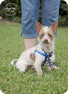 Terrier (Unknown Type, Small) Mix Dog for adoption in Kingwood, Texas - Bernie