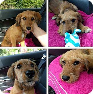 Corgi/Schnauzer (Miniature) Mix Puppy for adoption in Fishkill, New York - PIXIE