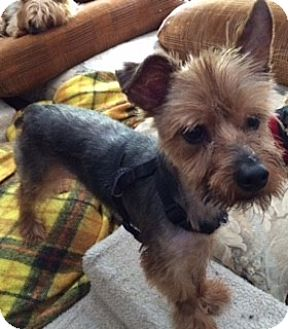Yorkie, Yorkshire Terrier/Terrier (Unknown Type, Small) Mix Dog for adoption in Oakland, California - DEXTER