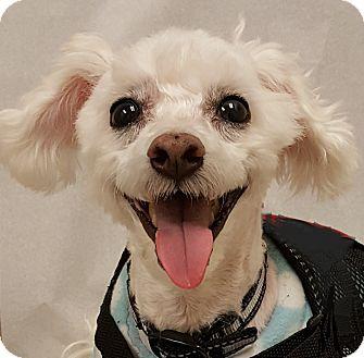Poodle (Miniature) Dog for adoption in Salem, Oregon - Ranger