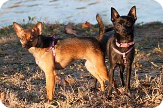 Miniature Pinscher/Pomeranian Mix Dog for adoption in St Louis, Missouri - Penny and Chloe