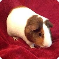 Adopt A Pet :: Chalupa - Williston, FL