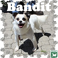 Adopt A Pet :: Bandit - Fallston, MD