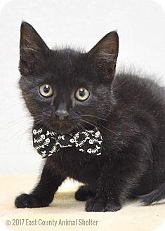 Domestic Shorthair Kitten for adoption in Dublin, California - Rupert