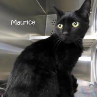 Adopt A Pet :: Maurice - Kansas City, MO