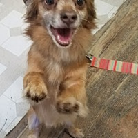 Adopt A Pet :: Piccolo - Red Wing, MN