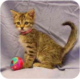 Domestic Shorthair Kitten for adoption in Walker, Michigan - Azucar