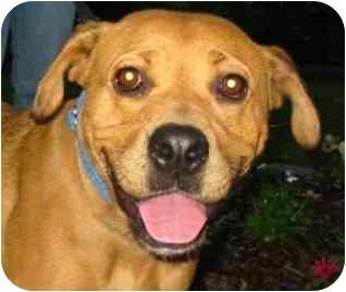 Labrador Retriever/Retriever (Unknown Type) Mix Dog for adoption in Rockville, Maryland - Audrey