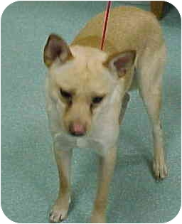 Chihuahua Mix Dog for adoption in Beacon, New York - Buddy