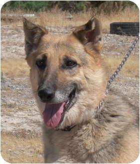 German Shepherd Dog Mix Dog for adoption in Las Vegas, Nevada - Carla
