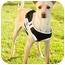Photo 1 - Whippet/Basenji Mix Dog for adoption in Marina del Rey, California - Poindexter