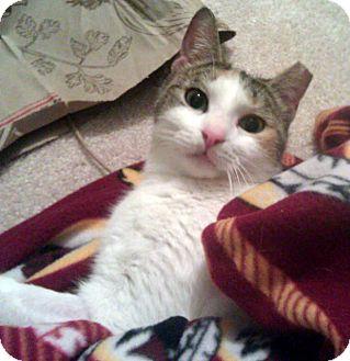 Domestic Shorthair Cat for adoption in Alexandria, Virginia - Blue
