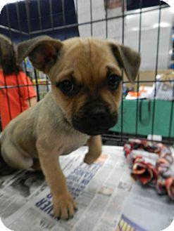 Pug Mix Puppy for adoption in Birmingham, Michigan - Porky