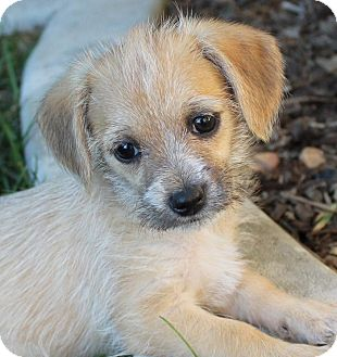 Jack Russell Terrier/Beagle Mix Puppy for adoption in La Habra Heights, California - Tiger Lily