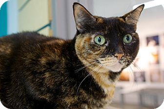 Domestic Shorthair Cat for adoption in Houston, Texas - Lady Luck